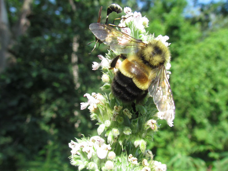 A Boost for Bees -  An endangered bumblebee gets new protection..