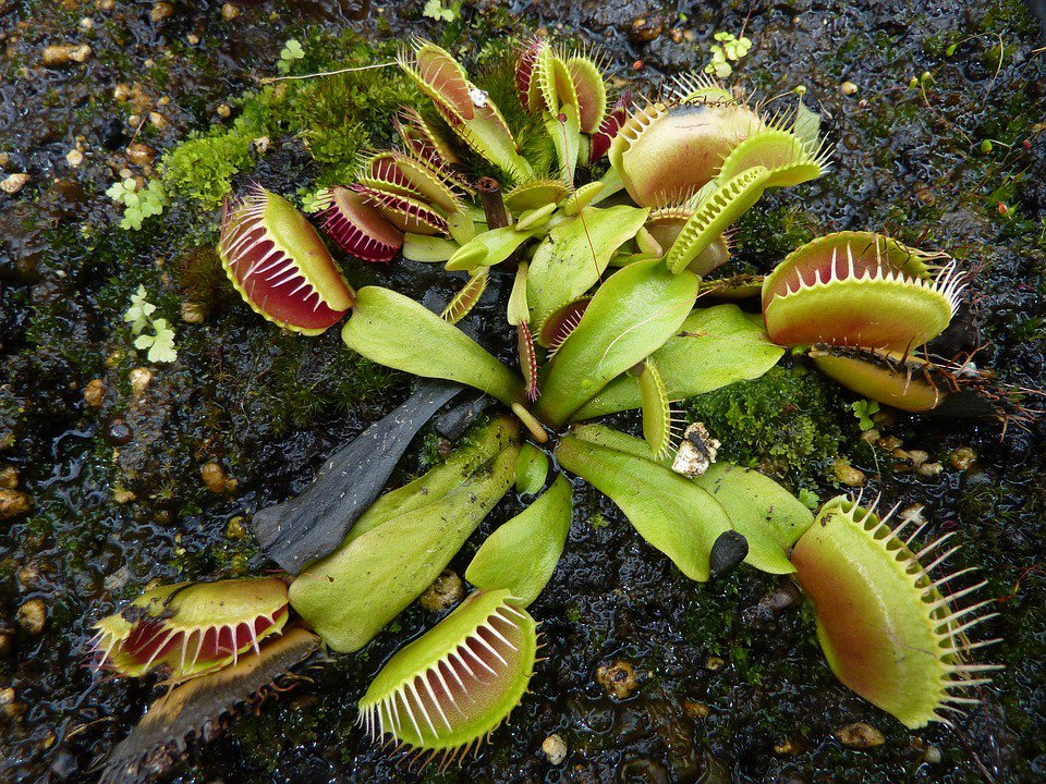 Sneaky Venus Flytraps use Prey for Nutrients and Energy