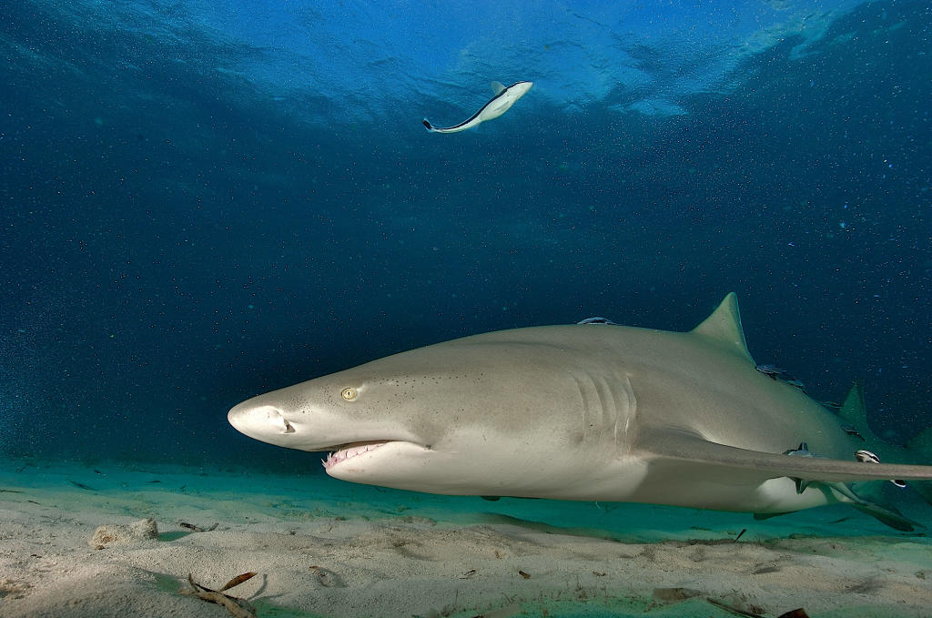 lemon-shark-displays-wolverine-like-self-healing-skills