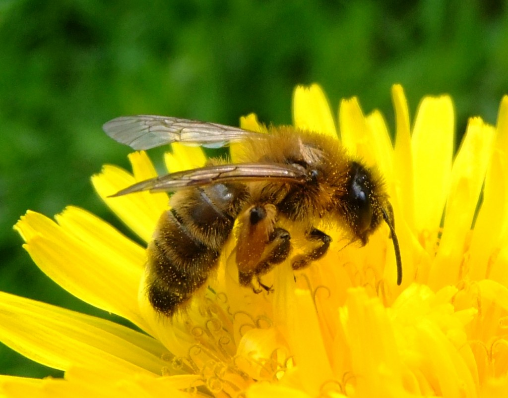 national-honey-bee-awareness-day