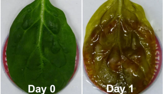 Spinach Leaf Transformed Into Beating Human Heart Tissue